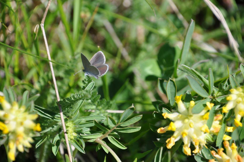 Lycenidae: Cupido cfr. osiris