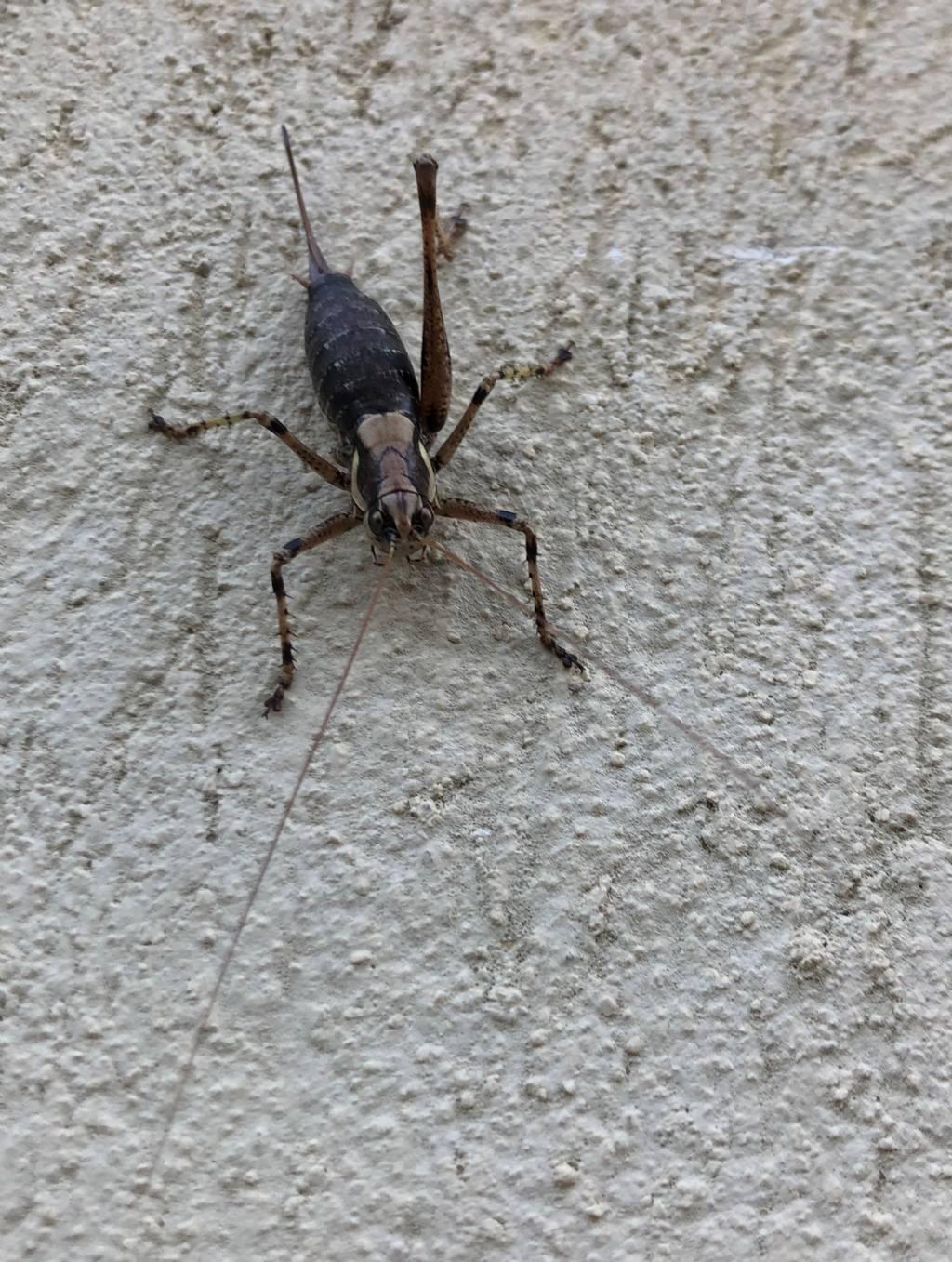 Tettigoniidae: Antaxius pedestris ♀ ?  Sì