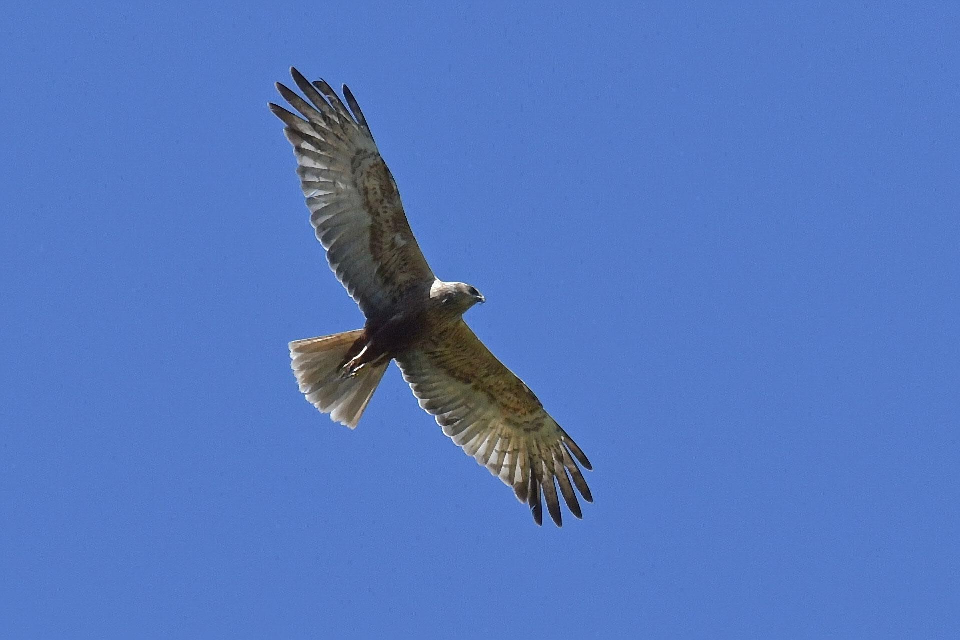 Identificazione rapace: Falco di palude, maschio