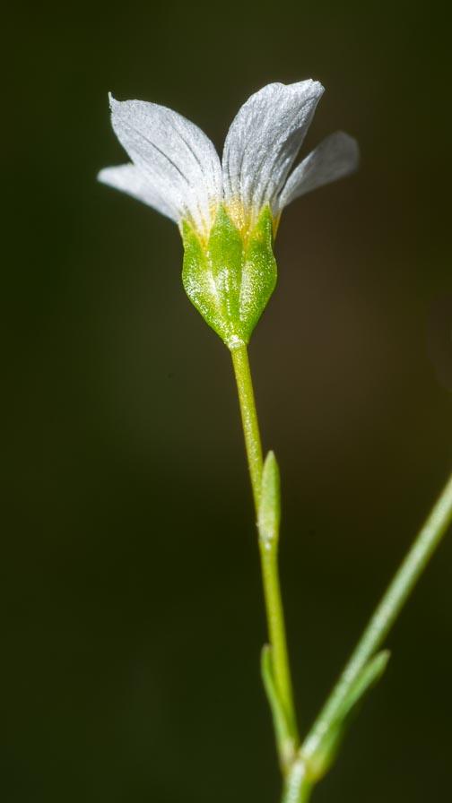 Linum catharticum / Lino purgativo