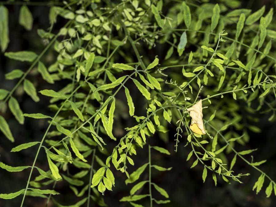 In collina:  Wisteria sp. / Glicine (Fabaceae)