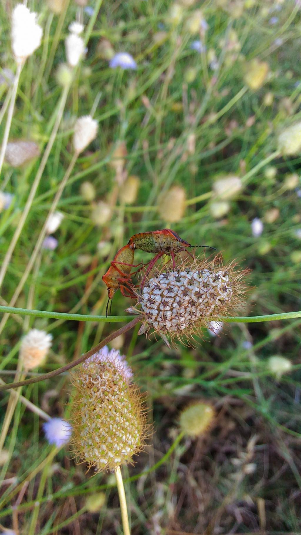 Grosse cimici rosse codophila varia pentatomidae for Cimici rosse