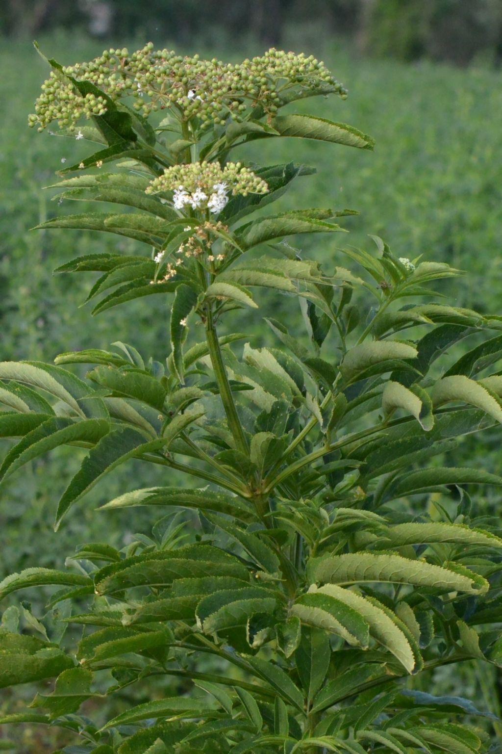 Sambucus ebulus (Adoxaceae)