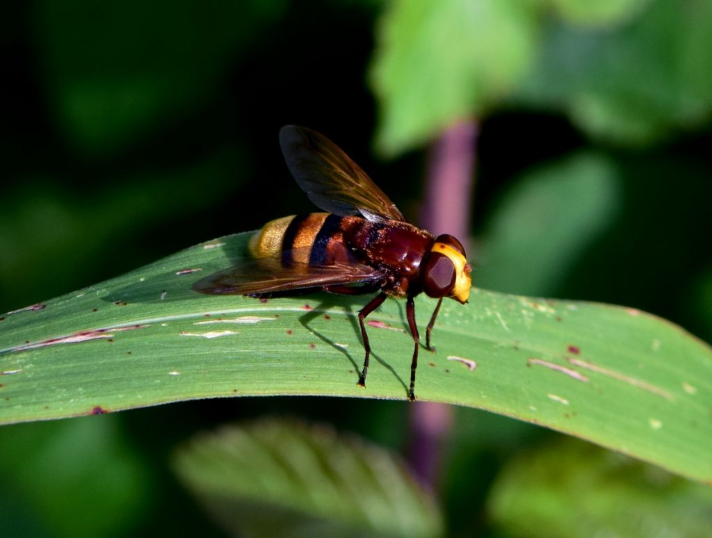 Che vespa è?   Nessuna vespa: è un dittero, Volucella zonaria