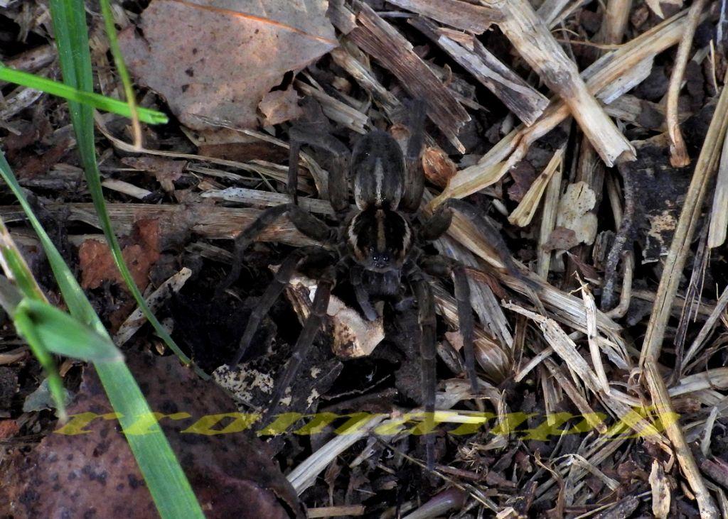 Lycosidae?  Sì, Arctosa fulvolineata - Valle dell''Arda (PC)
