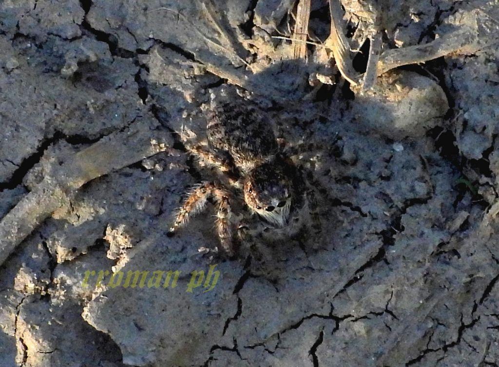 Pardosa wagleri? No, Salticidae: Philaeus chrysops, giovane - Valle dell''Arda (PC)