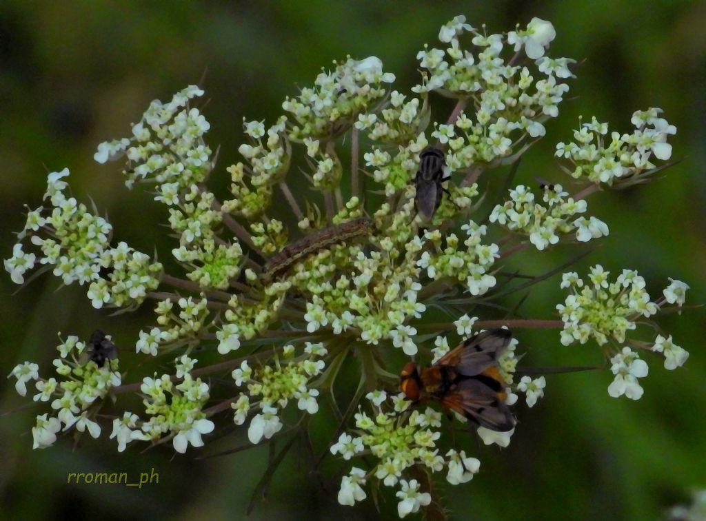 Su un fiore condominiale: Ectophasia sp;,  Stomorhina lunata (cfr.), ecc…