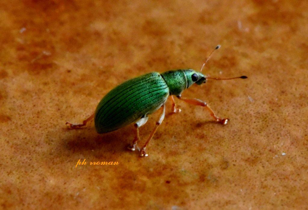 Curculionidae: Phyllobius viridiaeris? No, Polydrusus sp.