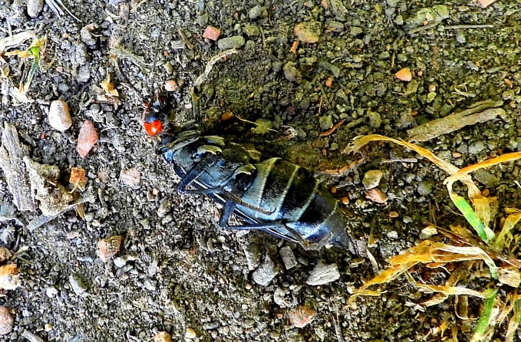 Cerambycidae o cosa? Meloidae: Epicauta rufidorsum
