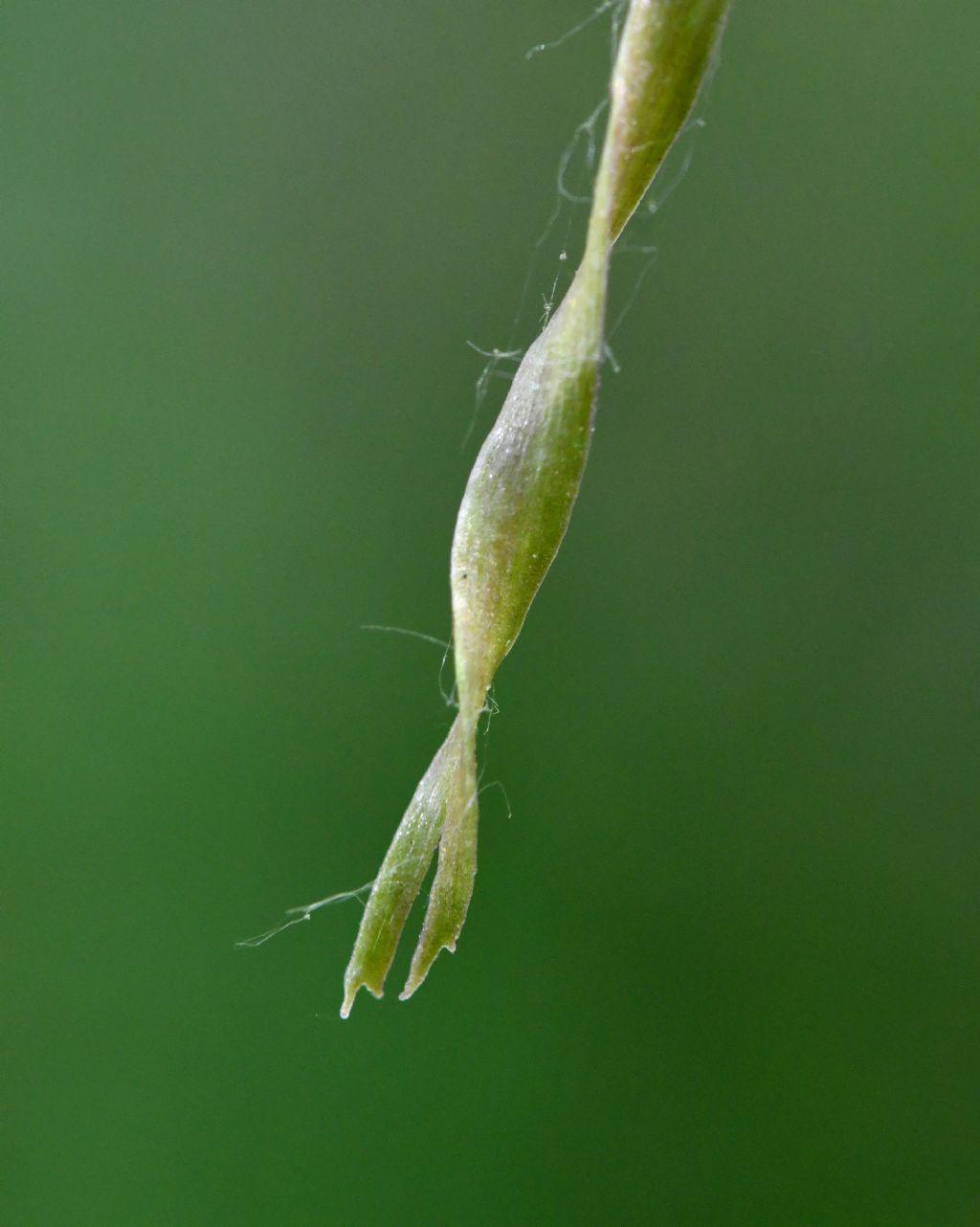 Himantoglossum adriaticum o hircinum?
