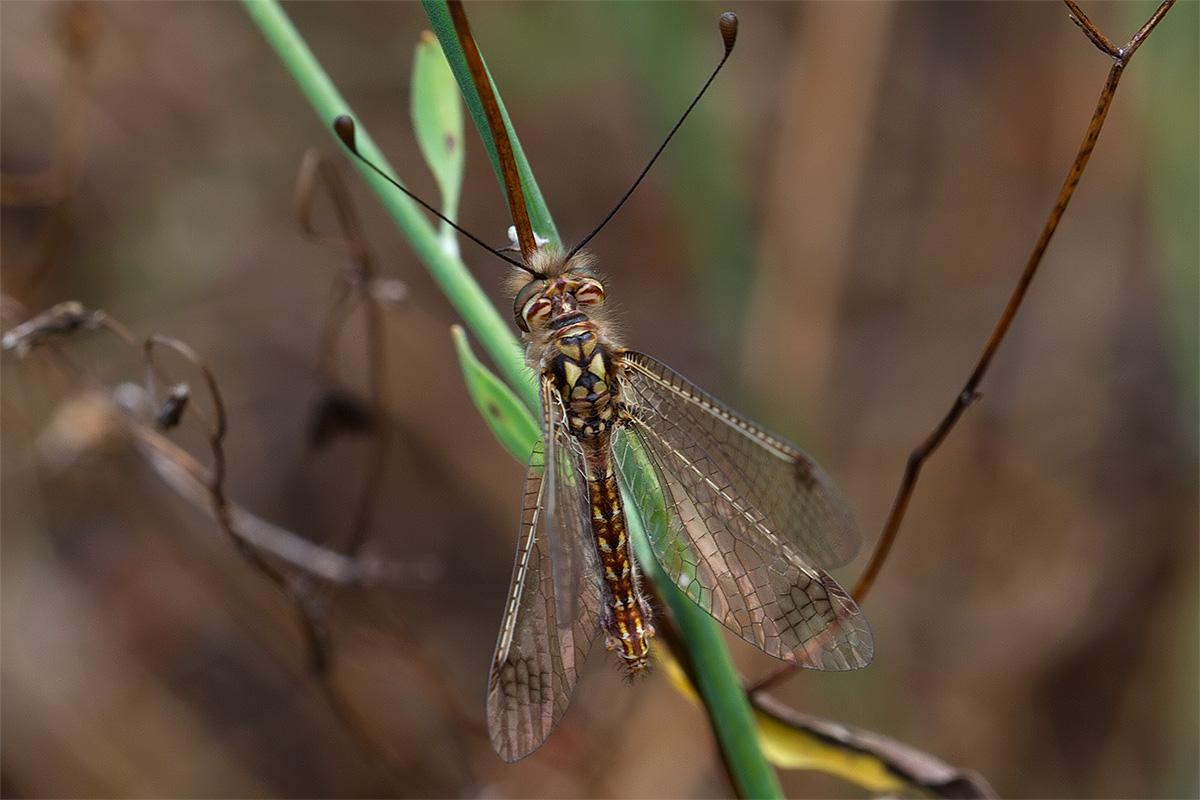 Deleproctophylla australis?