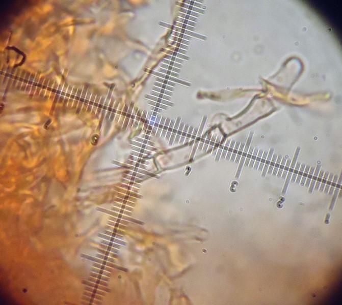Lyomyces sambuci? (Xylodon sambuci)