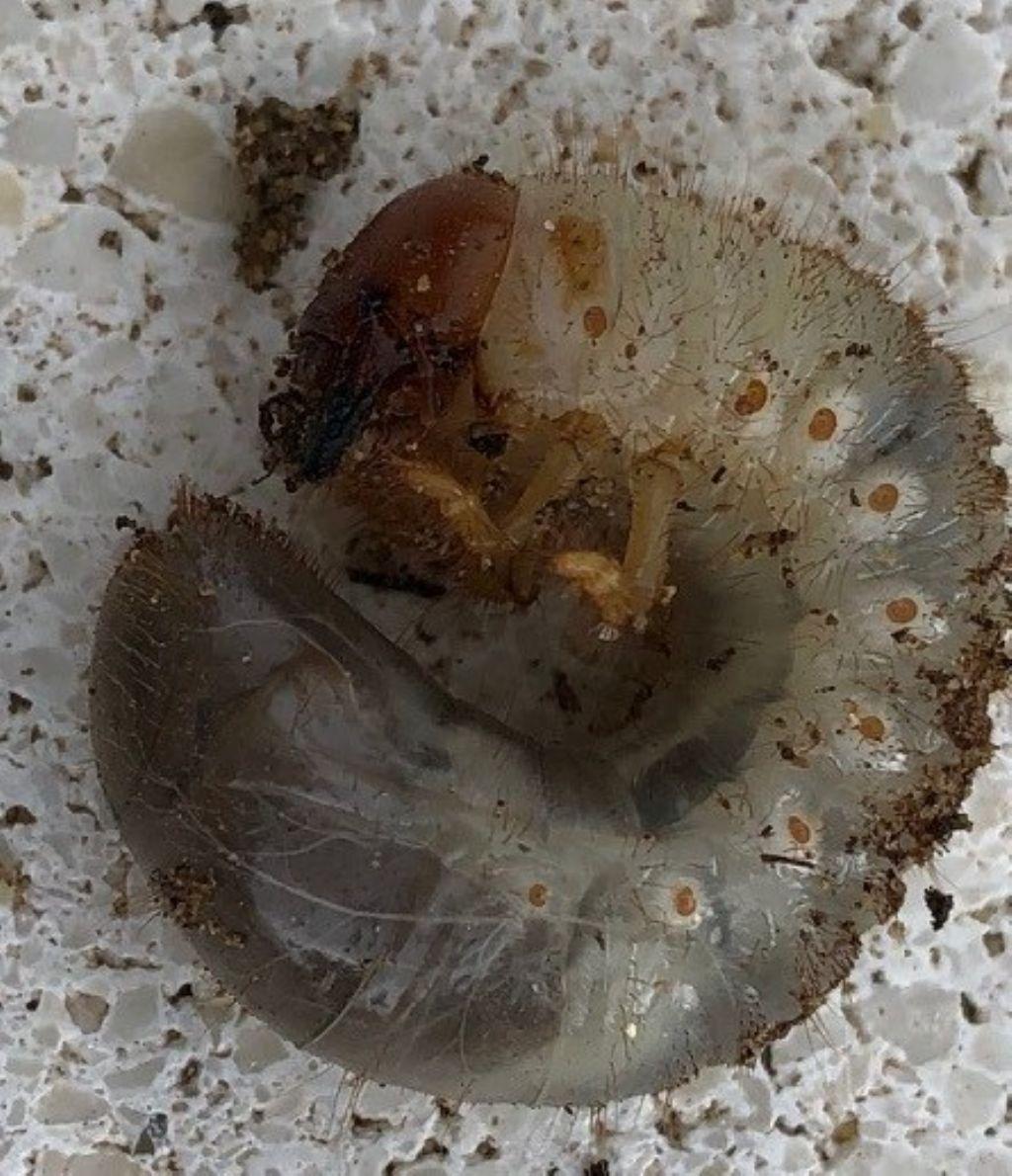 Che larva è?