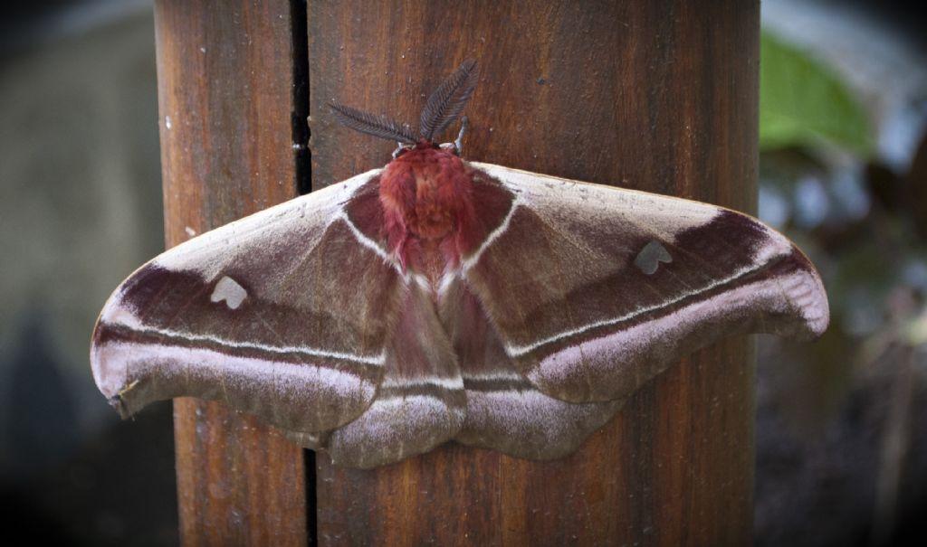 Falena del Madagascar: Bunaea aslauga (Saturniidae)