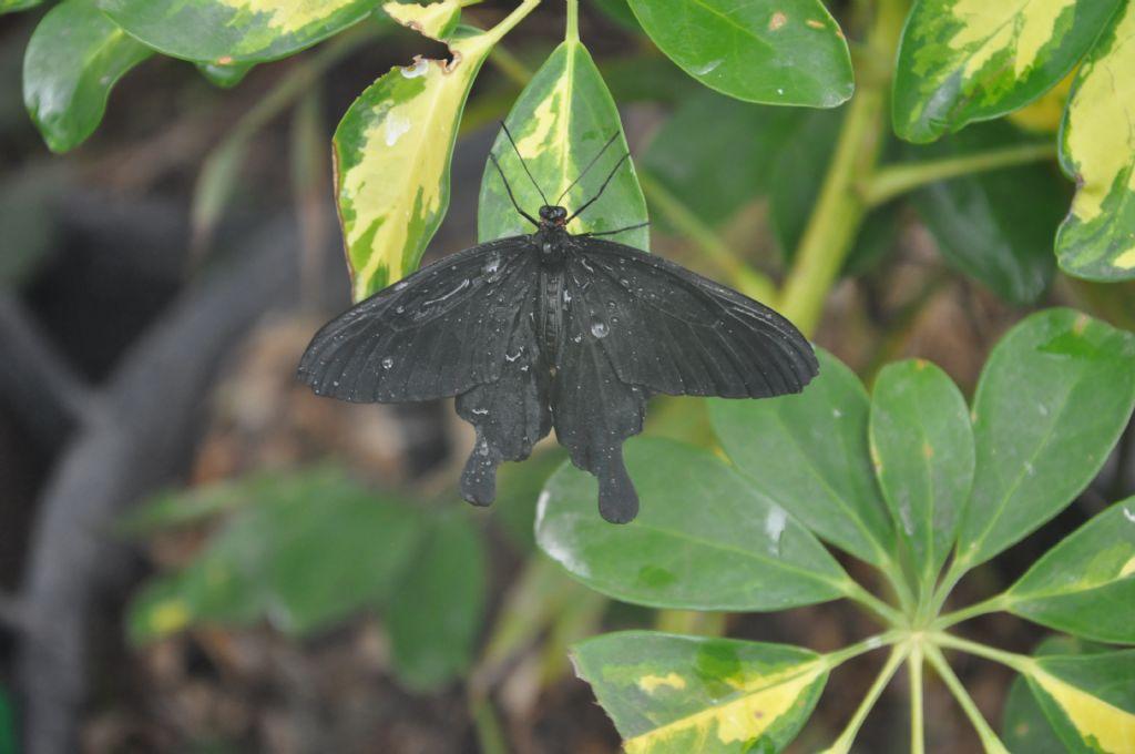 Farfalla della Casa delle farfalle di Palermo:  Papilio sp.