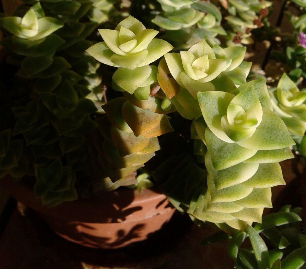 Crassula perforata ''Variegata'' (Crassulaceae)