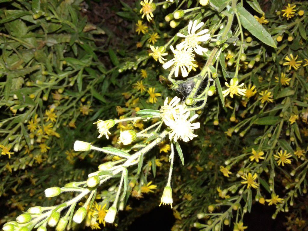 Pianta incolta notturna: Dittrichia viscosa (Asteraceae)