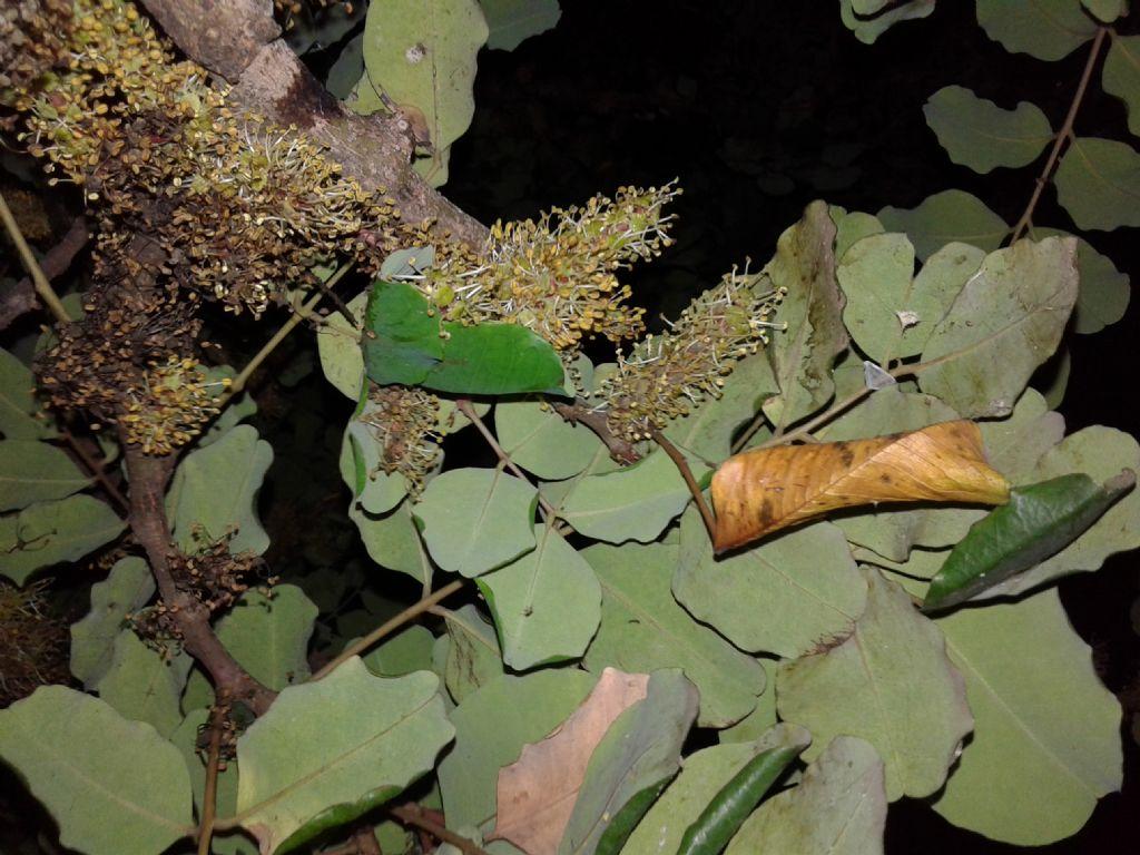 Ceratonia siliqua  / Carrubo