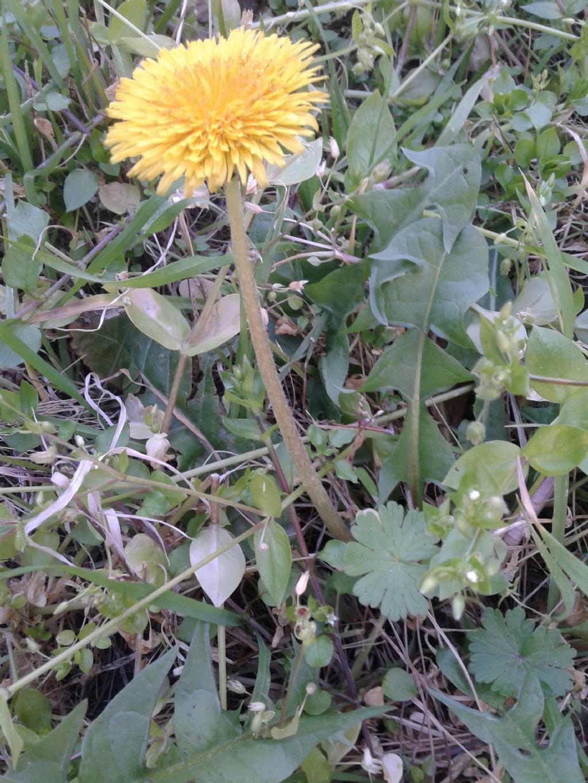 Asteraceae:  cfr. Taraxacum sp.