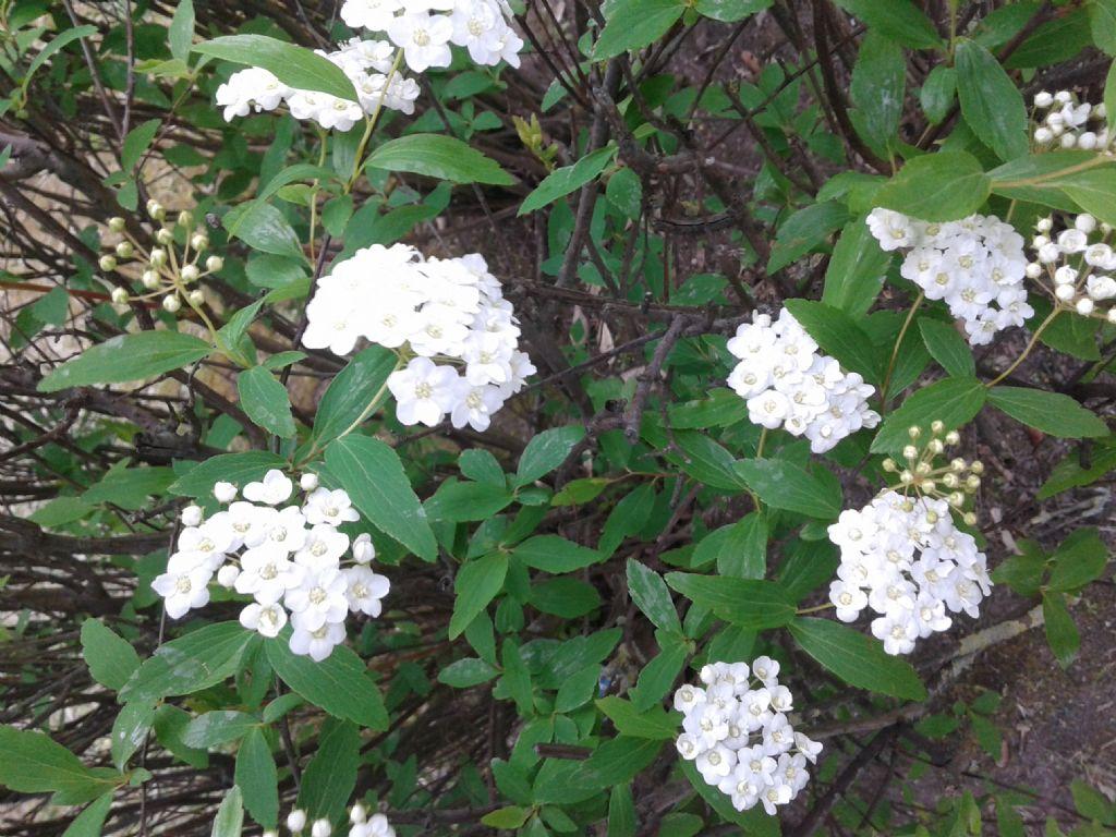 Infiorescenze bianche di Spiraea cantoniensis (Rosaceae)