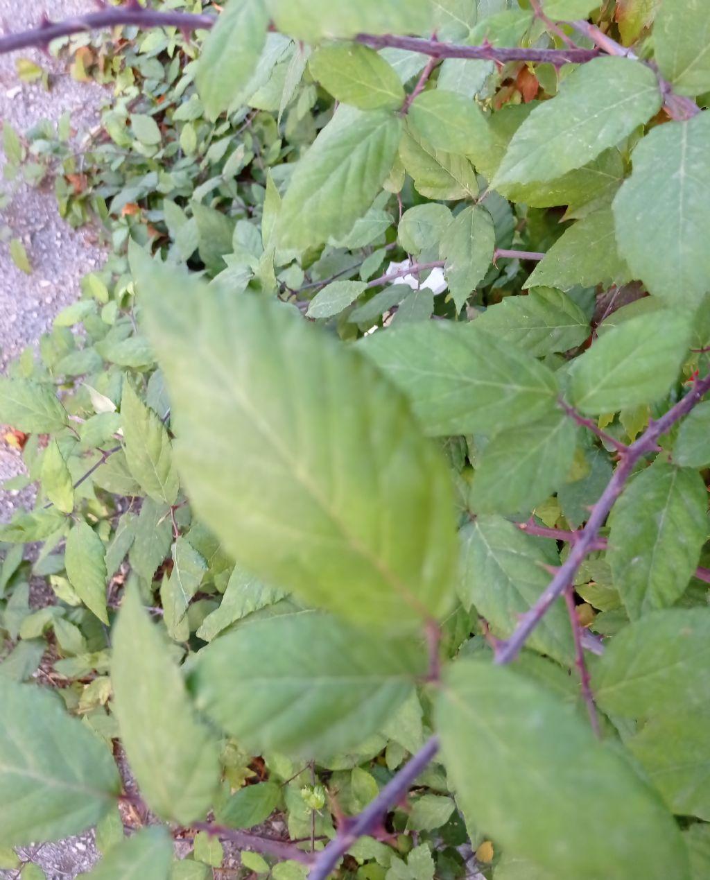 Pianta spinosa:  Rubus sp. (Rosaceae)
