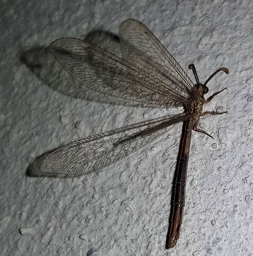 Myrmeleontidae: Macronemurus appendiculatus