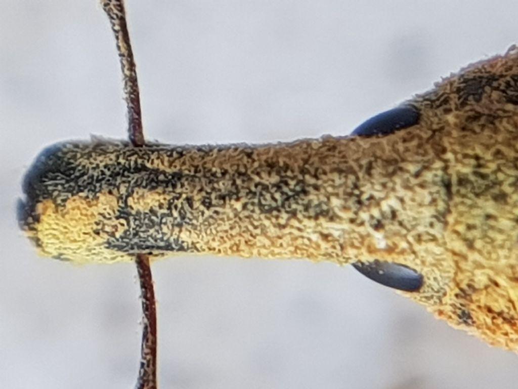 curcolionidae, Lixus sp. d identifcare
