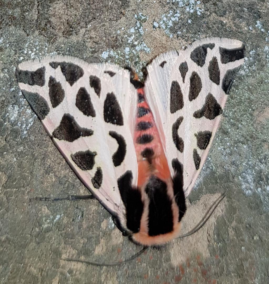 Cymbalophora pudica - Erebidae Arctiinae