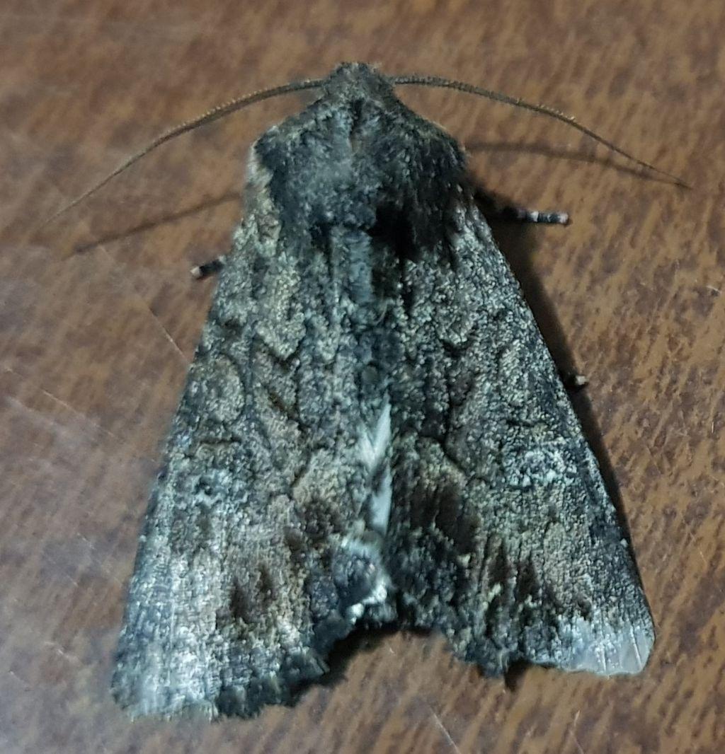 Mniotype cfr. solieri - Noctuidae
