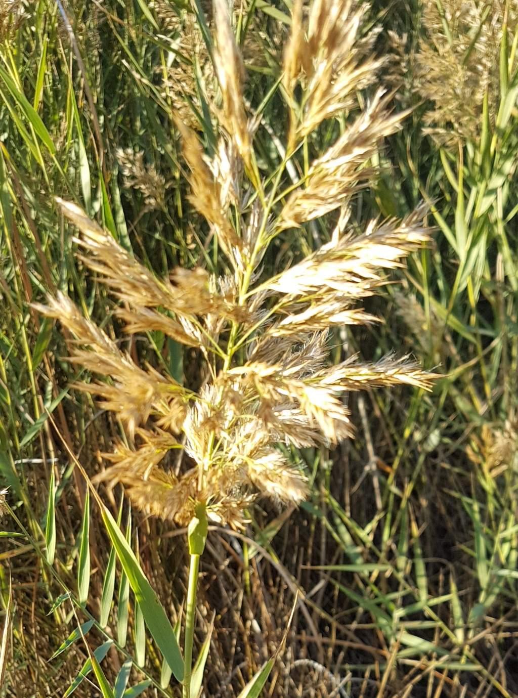 Typha angustifolia?   No, Phragmites australis