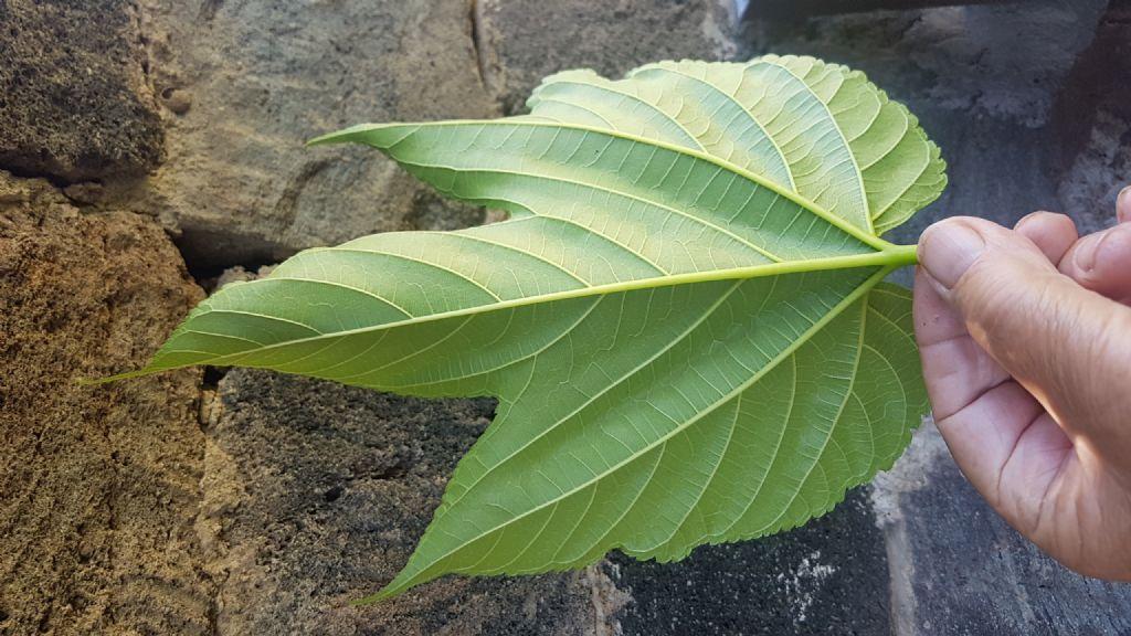 Moraceae da id.