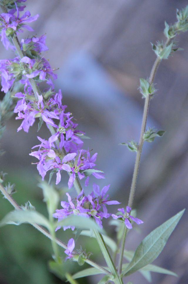 Lythrum salicaria (Lythraceae)