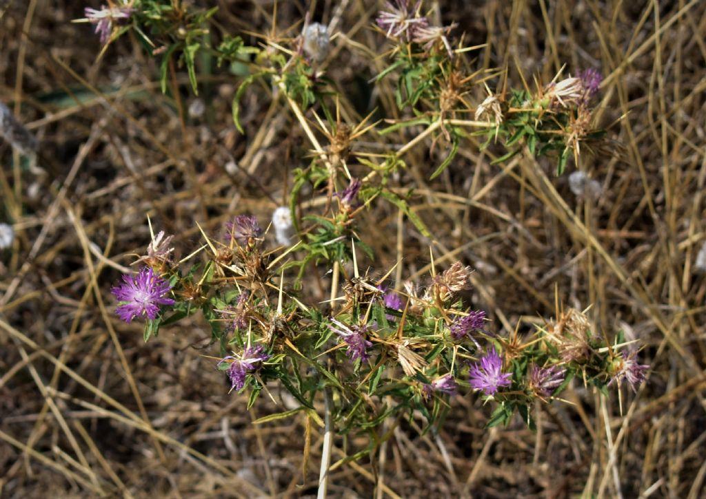 Centaurea calcitrapa