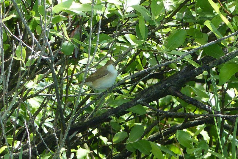 Quale Sylviidae?  Cannaiola, forse verdognola (Acrocephalus cfr. palustris)