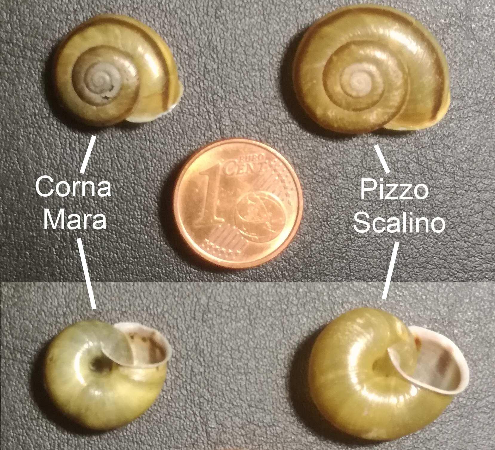 Chilostoma adelozona rhaeticum veramente piccoli!