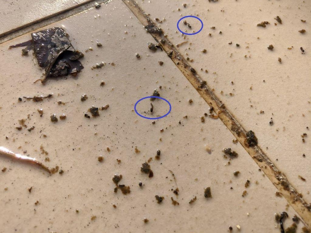 Identificazione larve acquatiche