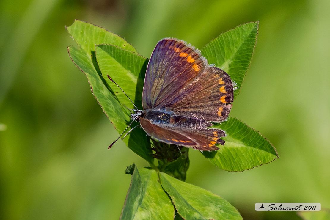 Lycaenidae - Polyommatus (???) icarus femmina