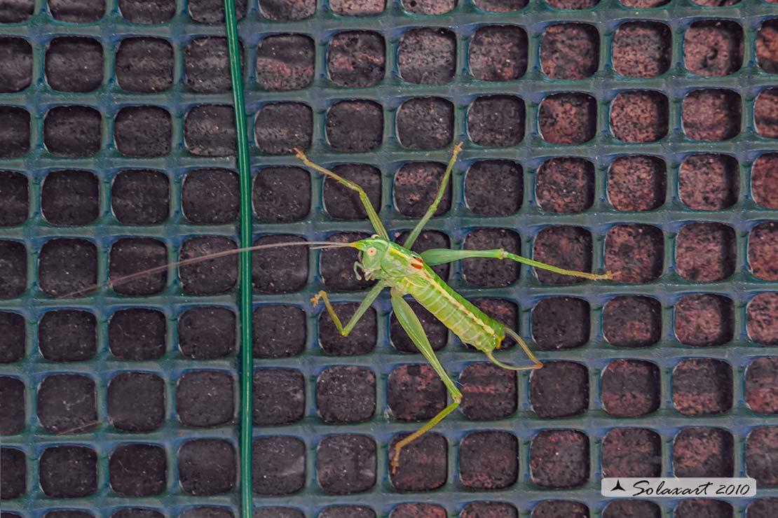 Ninfa ... ???? No, maschio adulto di Meconema meridionale (Tettigoniidae)