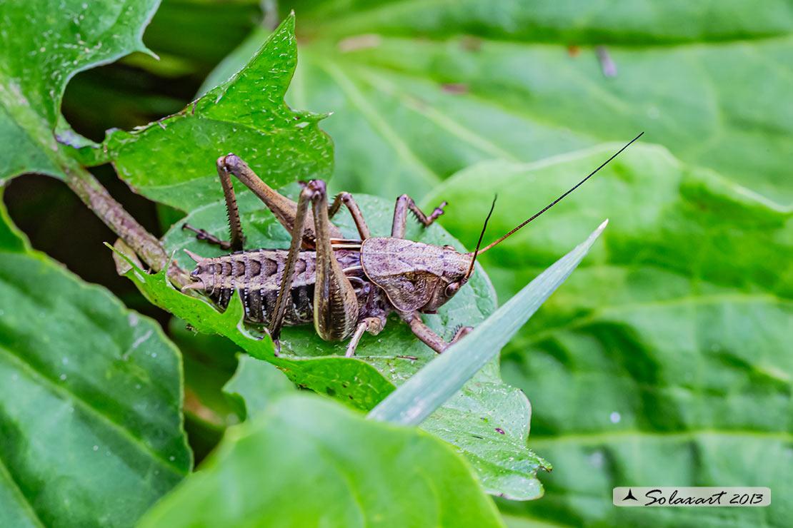 Decticus verrucivorus  verrucivorus (Tettigoniidae)