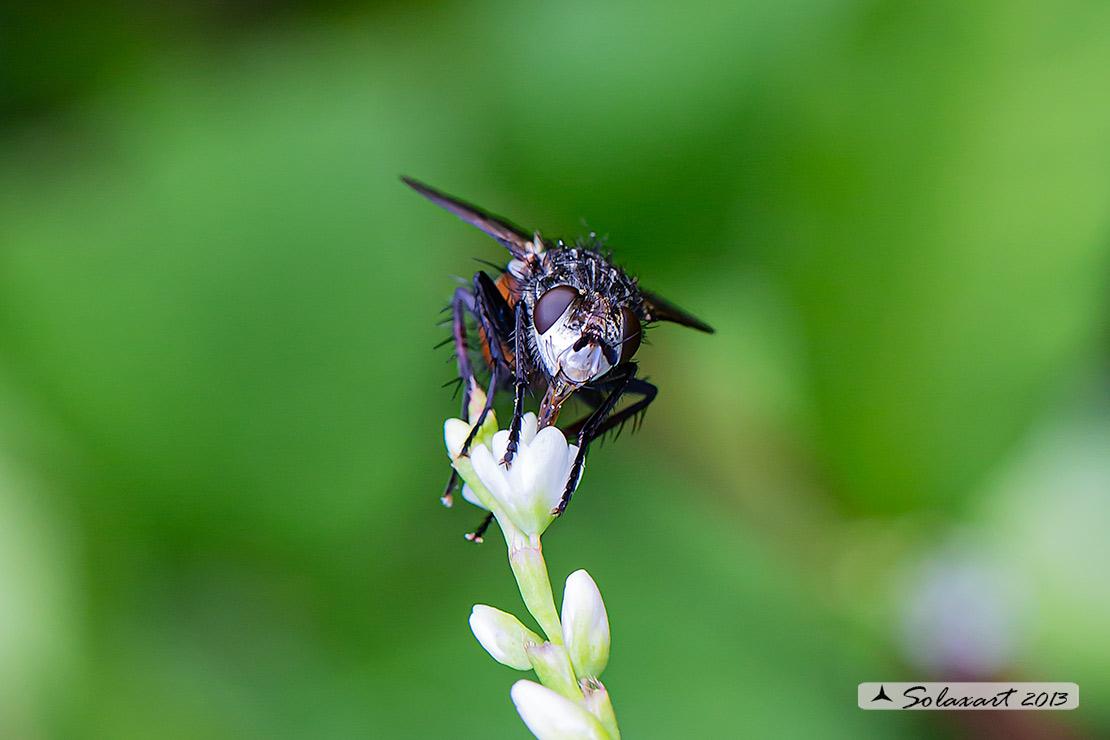 Tachinidae ?  Sì, Peleteria rubescens