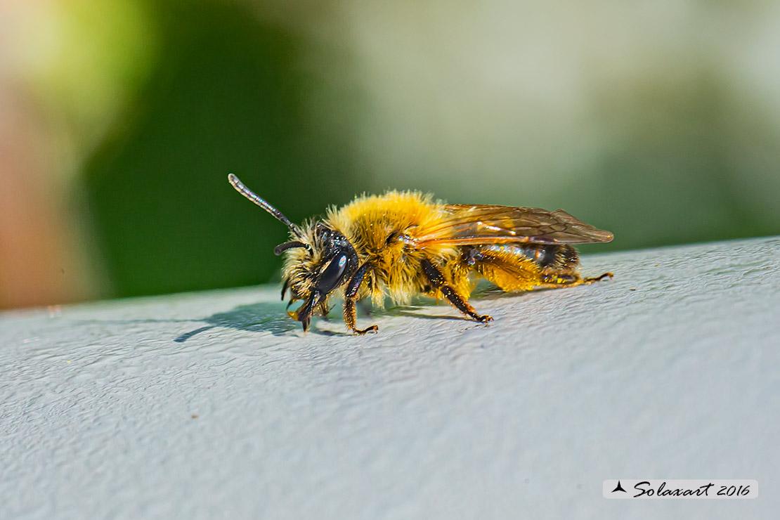 Apidae (Nomada) ???  No,  cfr. Andrena sp., femmina
