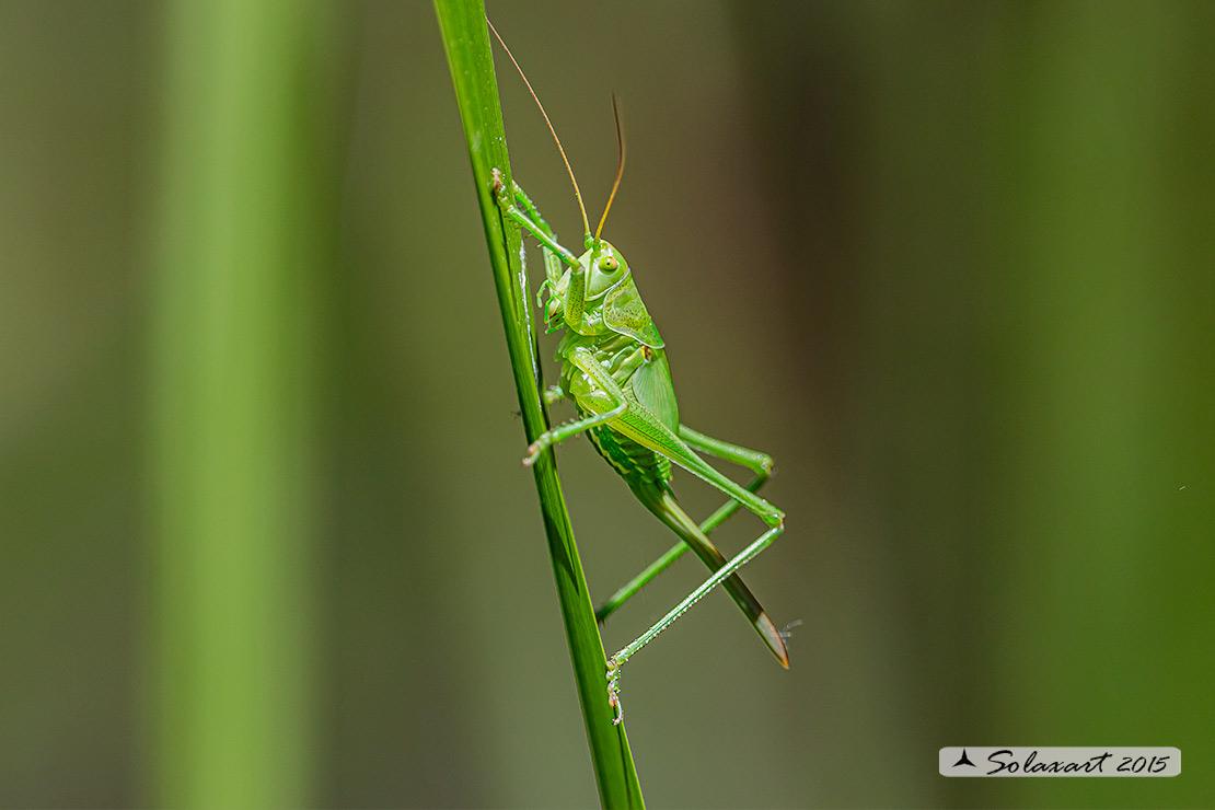 Tettigonia viridissima, femmina ?    Sì !