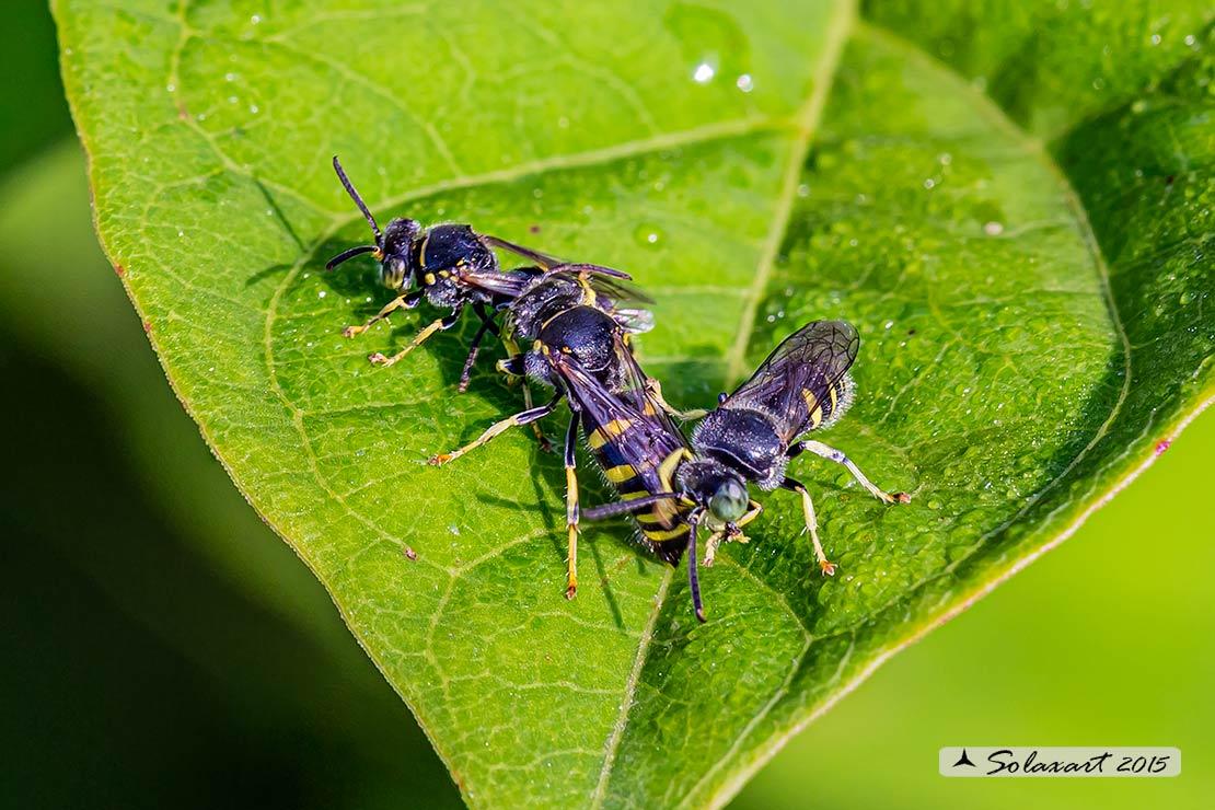 Apidae Megachilinae ? No, No. Crabronidae: Bembecinus tridens (cfr.)