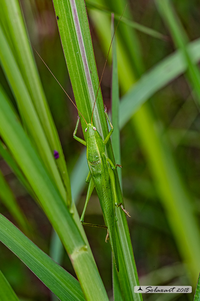Conocephalidae:  Ruspolia nitidula ?    Sì !