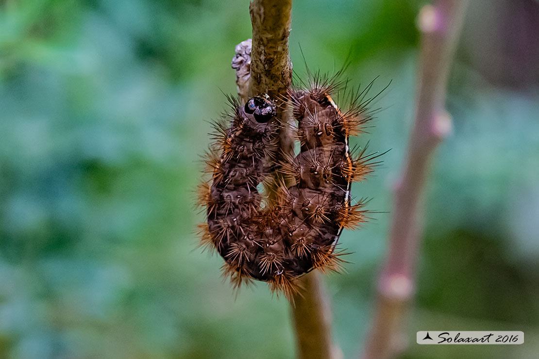 Bruco di Diacrisia sannio  (Erebidae Arctiinae)