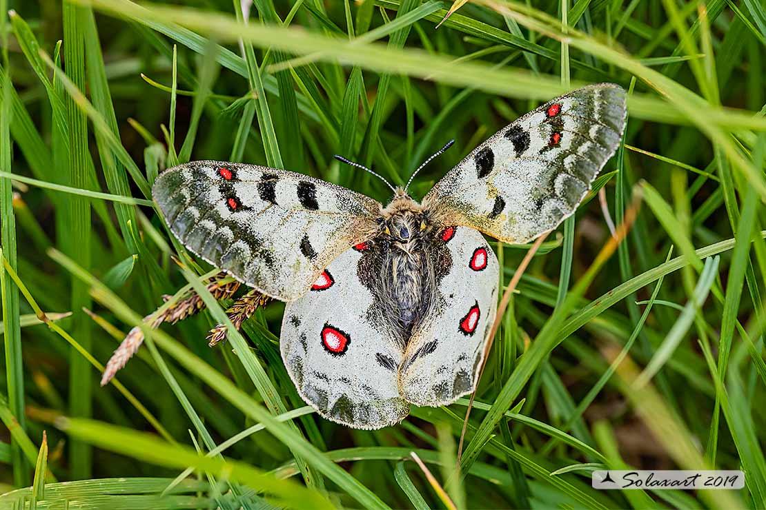 Papilionidae: Parnassius apollo ?   quasi, Parnassius phoebus