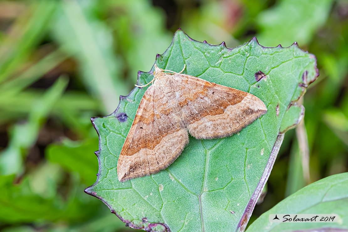 Geometridae; Scotopteryx chenopodiata (???)