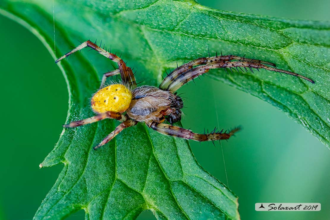 Maschio di Araneus quadratus - Lizzola (BG)
