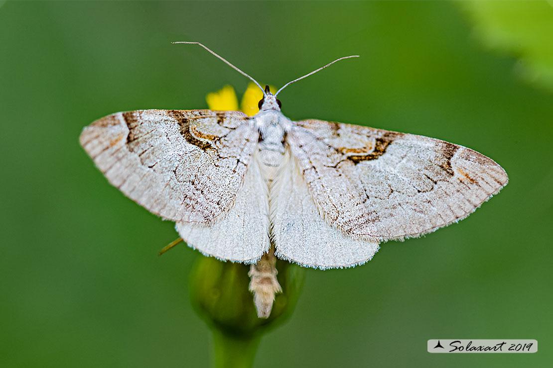 Geometridae: Aplocera praeformata (??) Sì