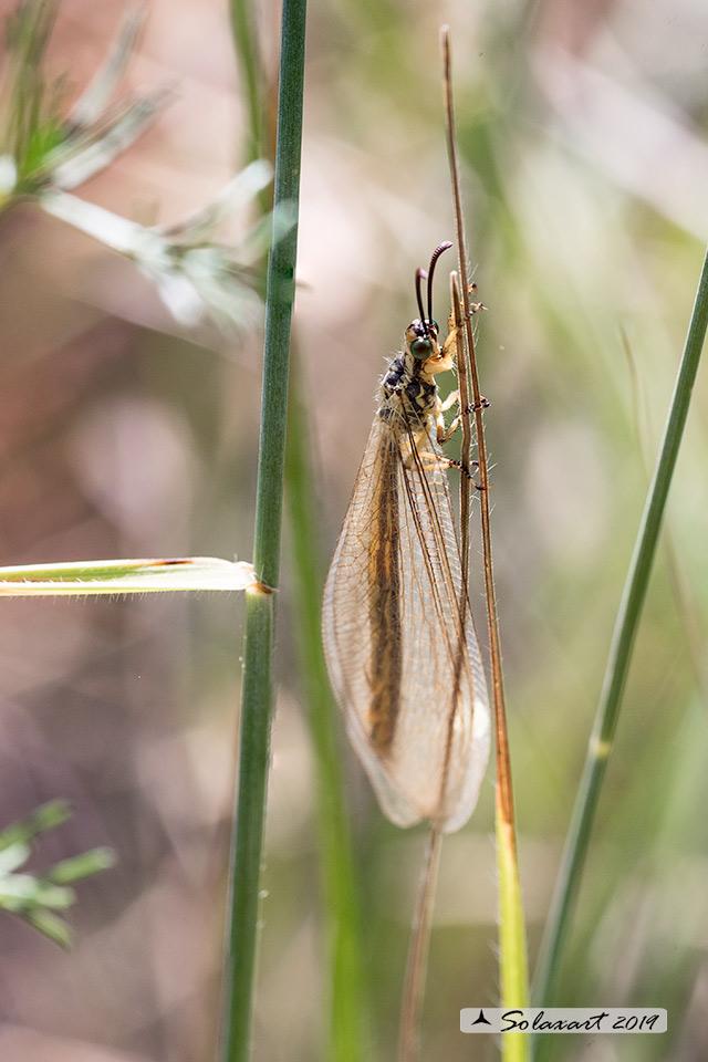 Myrmeleontidae (?????)